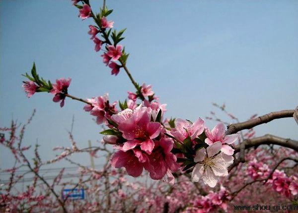 2019平谷桃花节包车一日游攻略 桃花节在4月18日开幕